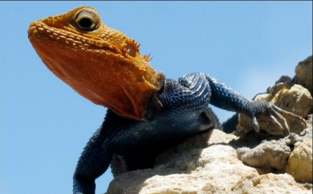 A Savanah Monitor - a mid sized Lizard;stands on a rock in the Kenya coastal town of Mombasa